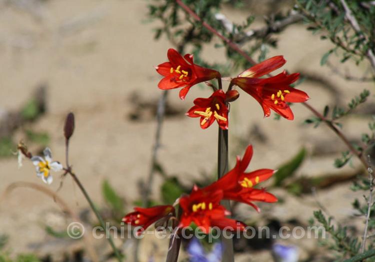 Añañuca, plante du Chili