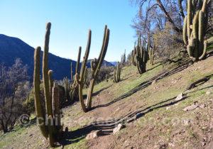 Cactus du Chili, paysage andin