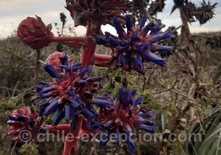Chagual plante colorée bleue et rouge