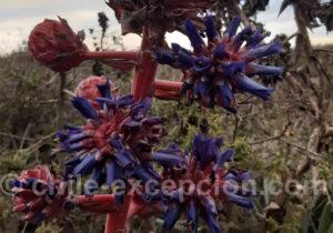 Chagual, plante coloré bleue et rouge
