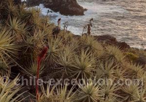 Chagual, plante de bord de mer au Chili