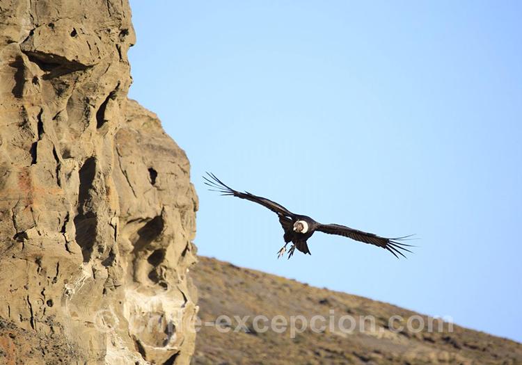 Condor des Andes, Paine