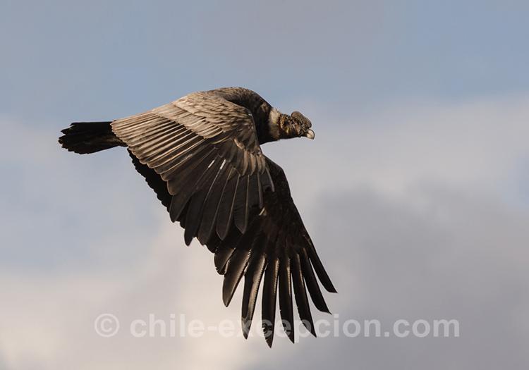Condor des Andes, Patagonie