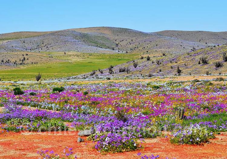 Désert-Fleuri-Atacama