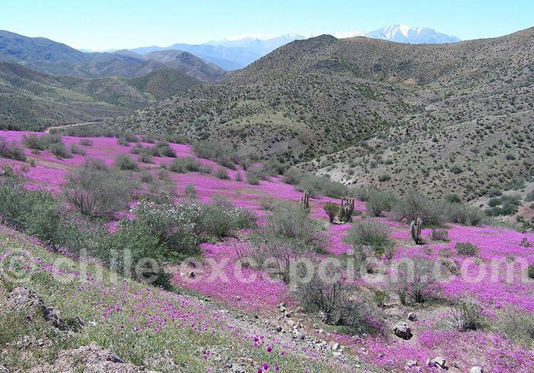 Desert Fleuri, région de Coquimbo