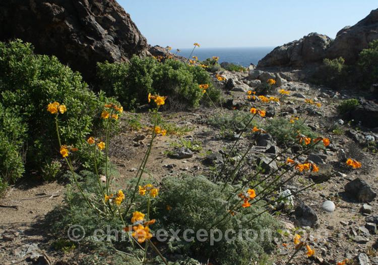 Flor de Jote, typique de la région d'Arica, de Paranicota et de Valparaiso au Chili