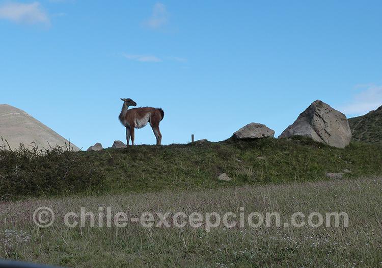 Guanaco Torres del Paine