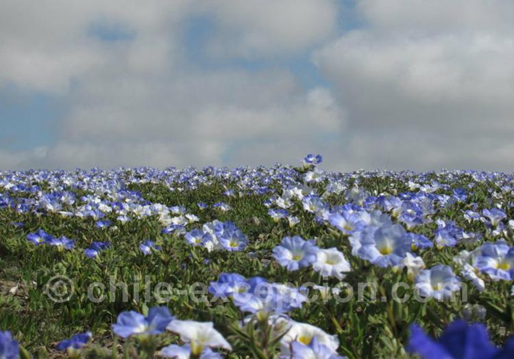 Nolane bleutée du désert fleuri