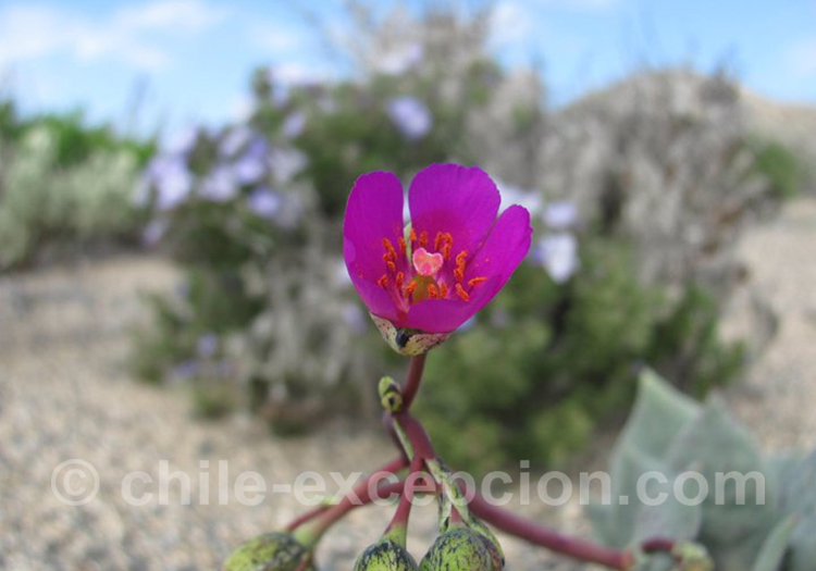 Pata de guanaco, fleur du Chili