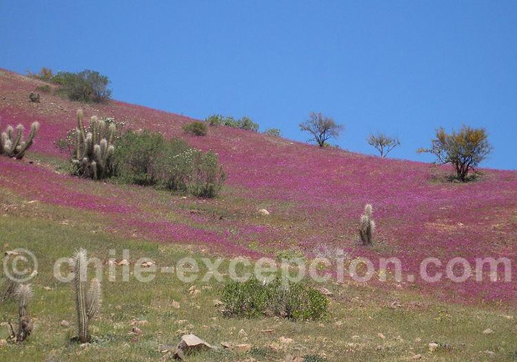 Phénomène du désert Fleuri, région Atacama