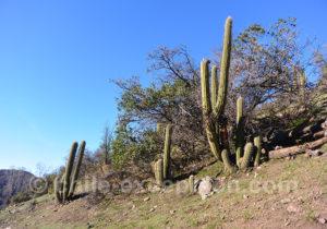 Quisco, cacto, cactus du Chili