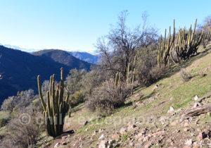 Quisco, cactus typique du Chili