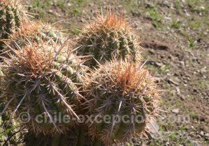 Quisco o cacto gros plan sur les cactus