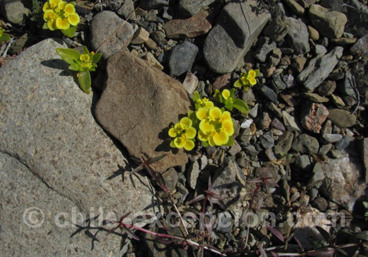 Rosita del campo, fleur de la région de Coquimbo au Chili