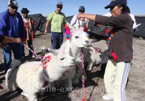 Bénédiction des lamas, Guallatire