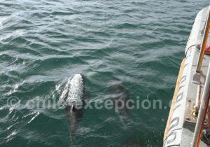 Accueil des dauphins, détroit de Magellan