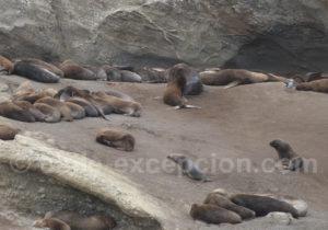 Lions de mer, détoit de Magellan