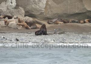 île Marta, lions de mer