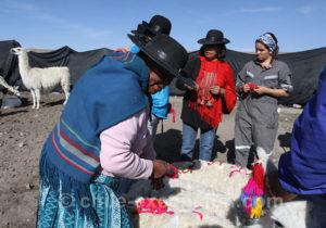 Floramiento des lamas dans l'Altiplano