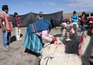 Fête de la Floraison Putre, Arica et Parinacota