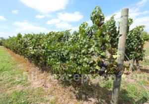 Cépage Pinot, vallée Colchagua