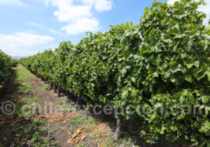 Vignes de Cabernet Franc