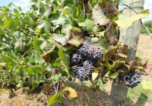 Cépage Pinot, viña Montgras