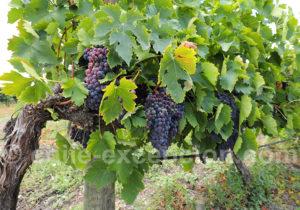 Cépage Sangiovese, viña Montgras