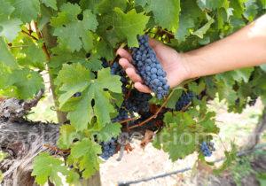 Cépage Sauvigon Blanc, viña Montgras