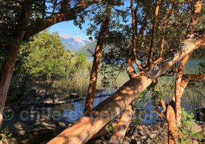 Arbres arrrayanes, vallée de Puelo
