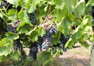 Cépage Sangiovese, route des vins chiliens