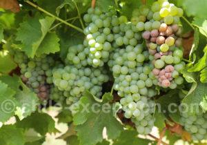 Cépage Sauvigon Blanc, route des vins