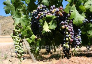 Cabernet, route des vins chiliens