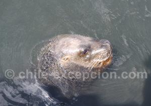 Lion de mer, port de Caldera