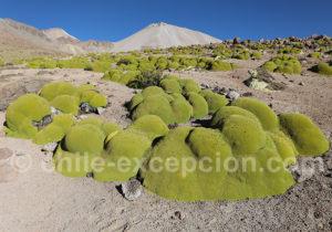 Llareta et versant nord Taapaca