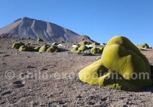 Azorella sur le volcan Taapaca