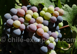 Cabernet Franc, route des vins au Chili