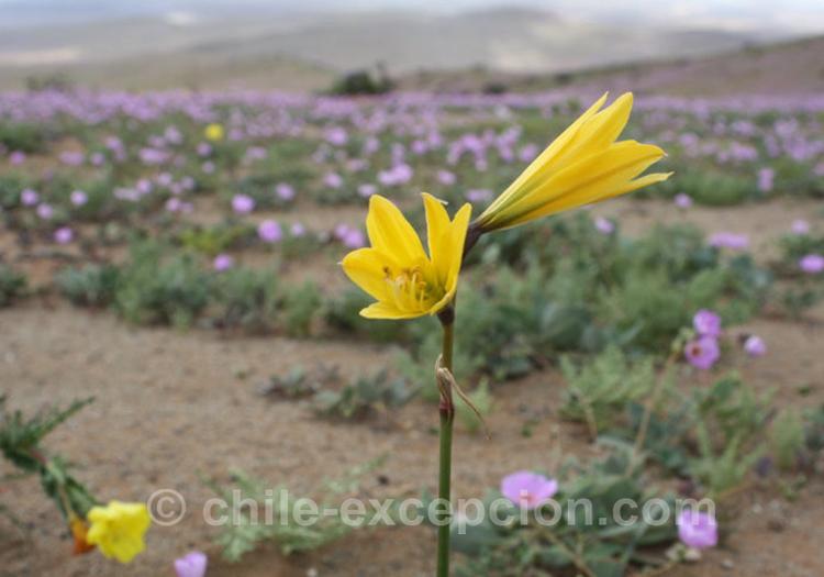 Añañuca, flore du Chili