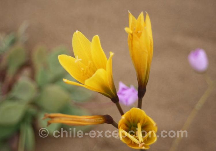 Añañuca, la fleur que l'on trouve dans les cimetières au Chili
