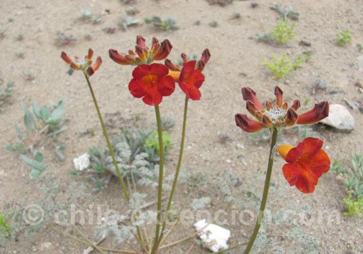 Flor de Jote, flore typique du Chili