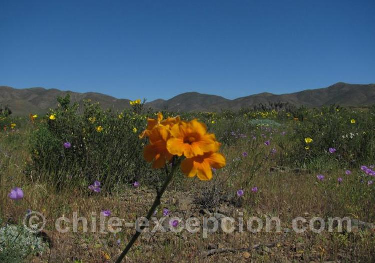 Flor de Jote, petite fleur orange du Chili