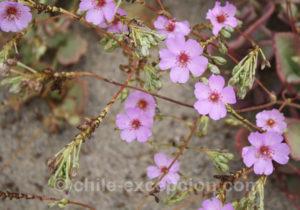 Pata de Guanaco, fleur à cinq pétales