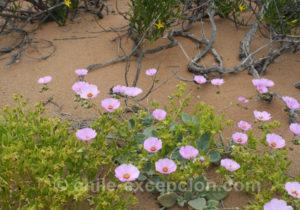 Pata de Guanaco, fleur que l'on trouve au désert fleuri au Chili