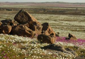 Pata de Guanaco, fleurs du Chili que l'on trouve dans le désert d'Atacana