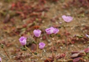 Pata de Guanaco, flore du Chili