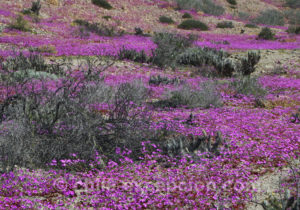 Pata de Guanaco, jolies fleurs violettes originaires du Chili