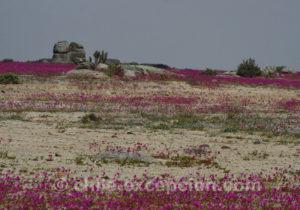 Pata de Guanaco, magnifique désert fleuri au Chili