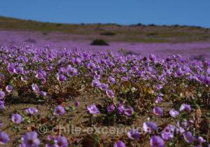 Pata de Guanaco, où voir cette fleur au Chili