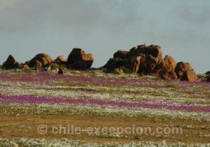 Pata de Guanaco, parterre de fleurs à Atacama