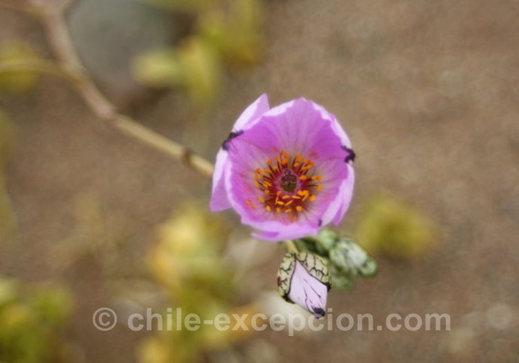 Pata de guanaco, fleur violette du Chili